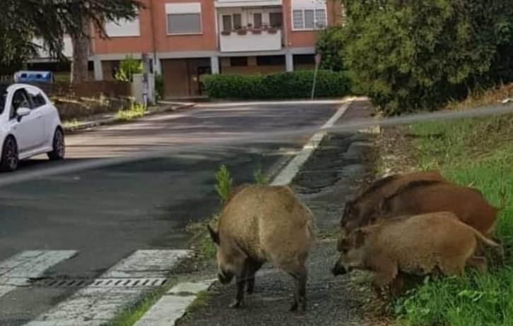 المديرية الإقليمية للمياه والغابات تقدم روايتها حول أسباب انتشار الخنزير البري بأحياء الرباط